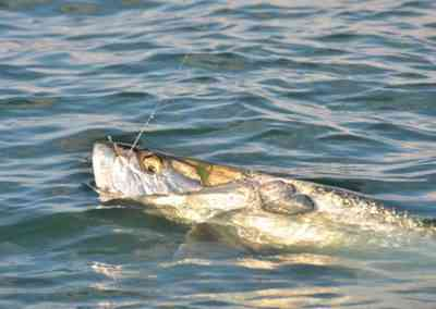 a picture of a tarpon