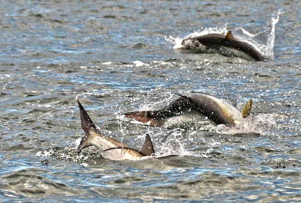 Murrells Inlet Tarpon Fishing
