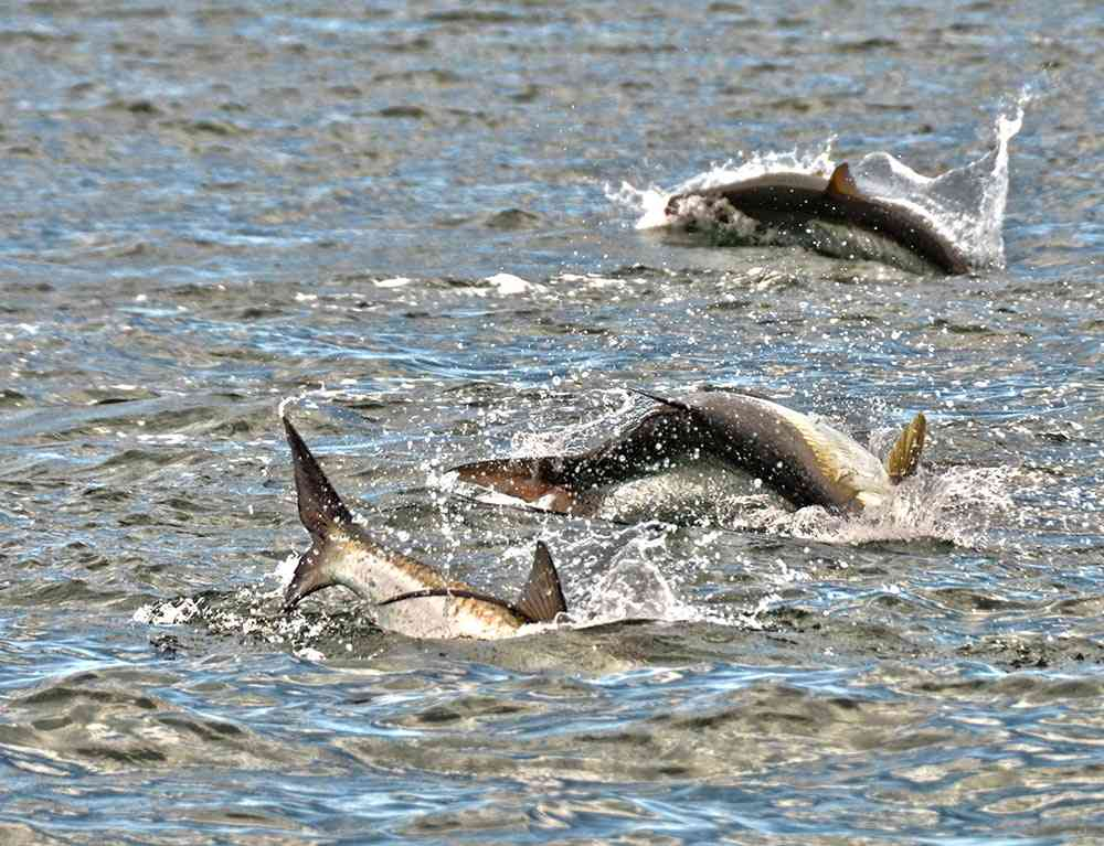 a picture of tarpon