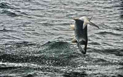 Pawleys Island Tarpon Fishing In August