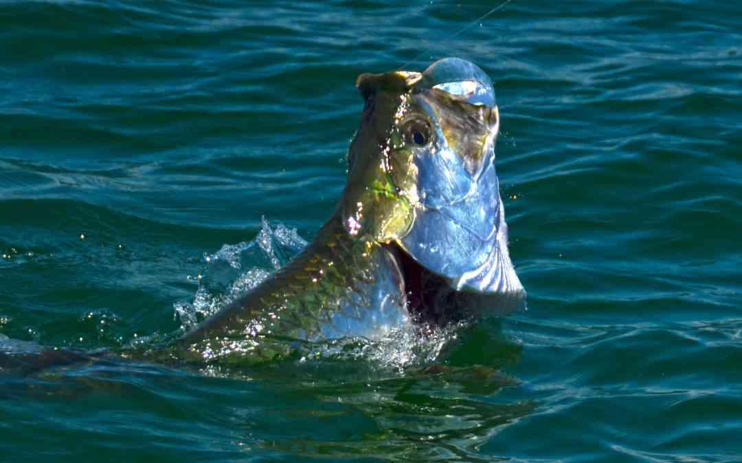 Pawley's Island Tarpon Fishing