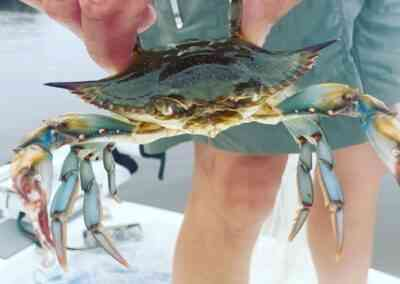 a picture of a blue crab