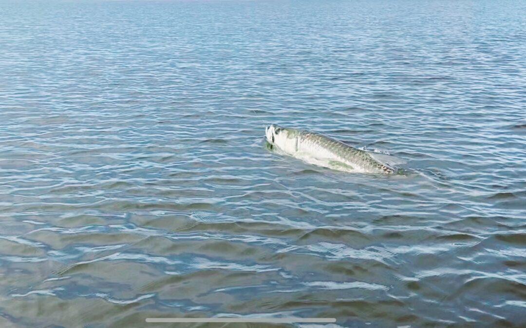 Tarpon Fishing Happy Surprise