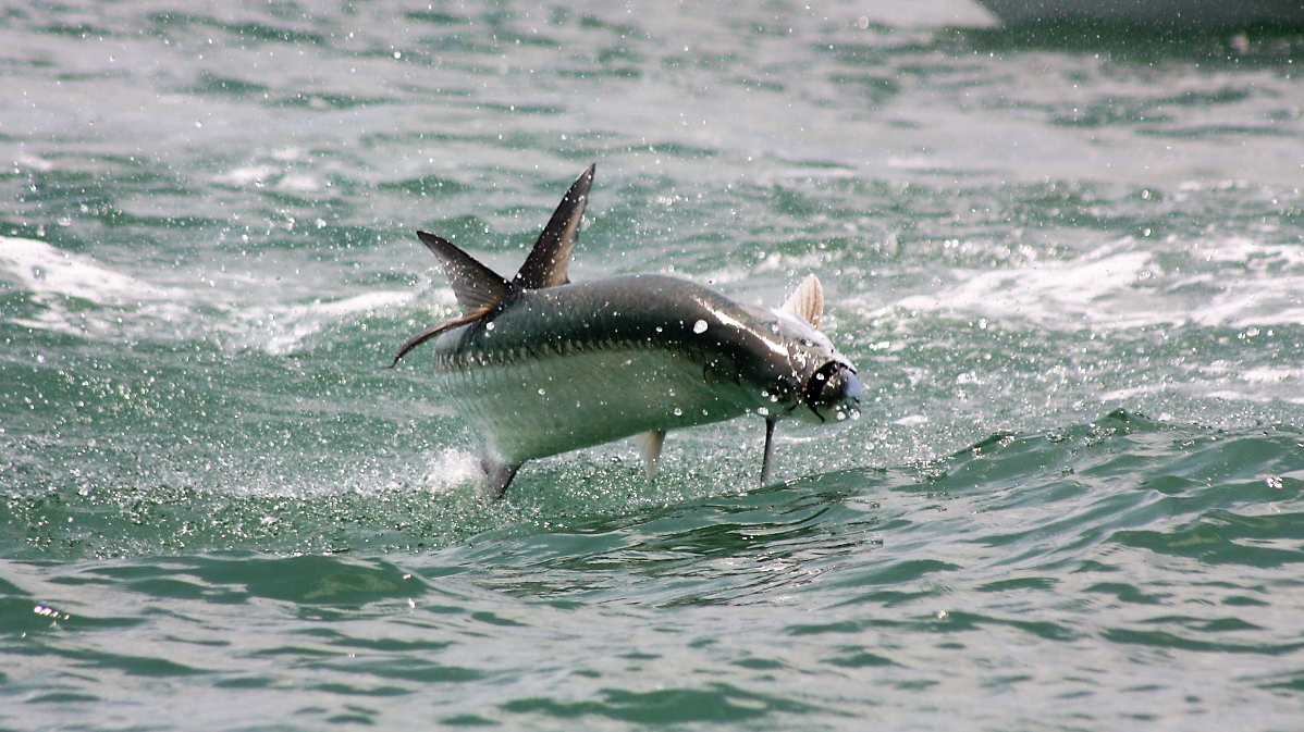 a picture of Pawleys Island Tarpon Fishing In August with Harvest Moon Fishing Charters